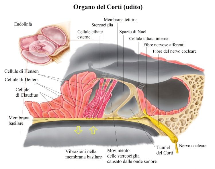 endolinfa,organo del corti,nervo cocleare