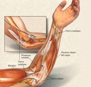 Nervo mediano,ulnare,avambraccio.muscoli,pronatore