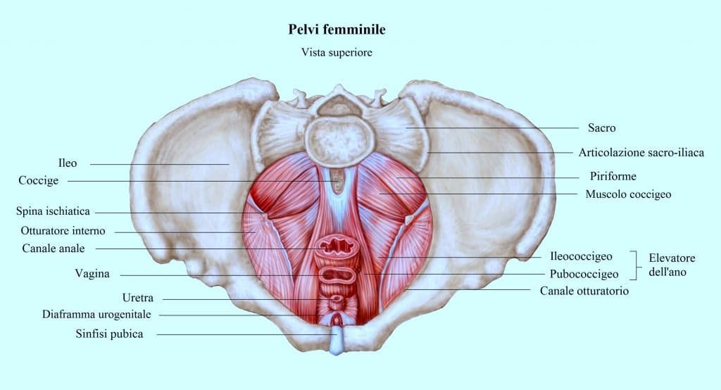 Muscoli della pelvi,elevatore dell'ano