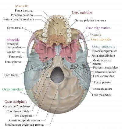 Osso occipitale,forame,temporale,mascella,palatino