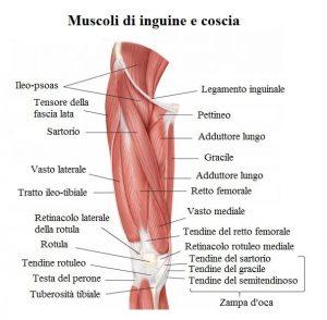 Muscoli-dell'inguine,coscia,pubalgia