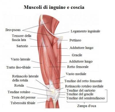Muscoli dell'inguine,coscia,pubalgia