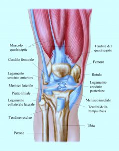 Anatomy of human knee joint.