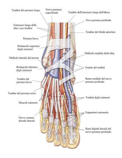 Caviglia,anteriore,estensori