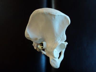 Osso iliaco,bacino,modellino