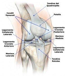Anatomia del ginocchio in cui è visibile il legamento crociato anteriore, menisco mediale e latearle, corno anteriore e posteriore, condili femorali, tendine rotuleo e quadricipitale, collaterale interno ed esterno, ossa, articolazione ginocchio, rotula