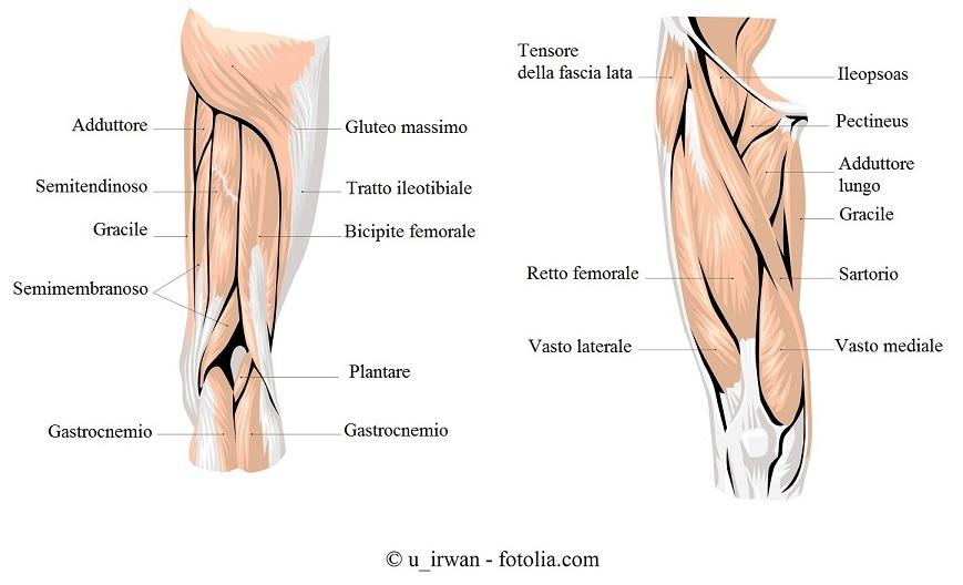 Muscoli-gamba