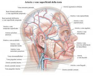 Arteria temporale,occipitale,carotide