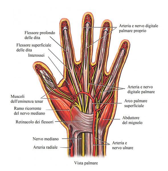 Flessori delle dita,tendinite,nervo ulnare,radiale,arteria