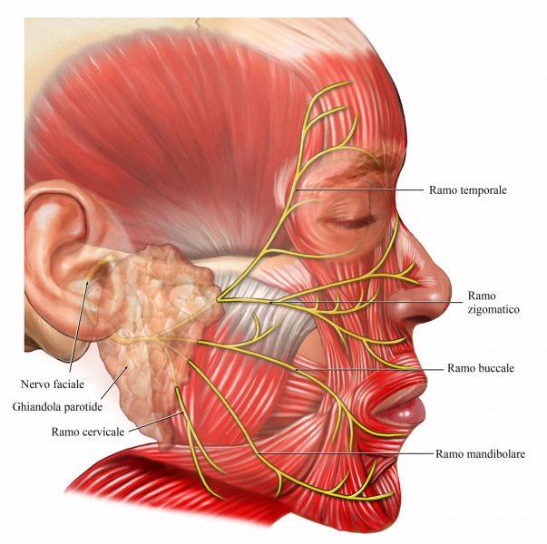 nervo facciale,paralisi,muscoli