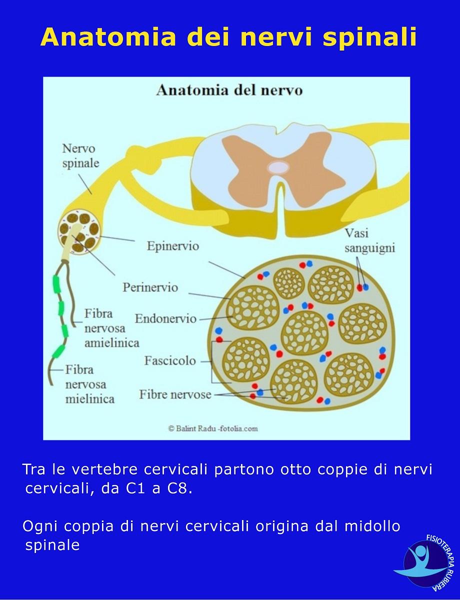 Anatomia dei nervi spinali
